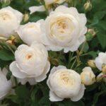 David Austin Roses 2
