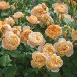 David Austin Roses 3