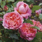 David Austin Roses 4