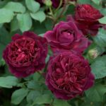 David Austin Roses 6