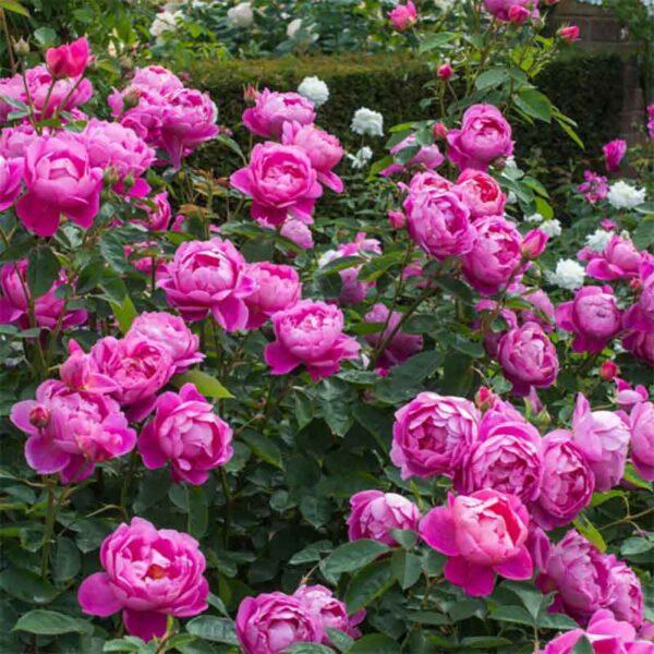 David Austin Royal Jubilee® (Auspaddle) English Shrub Rose display
