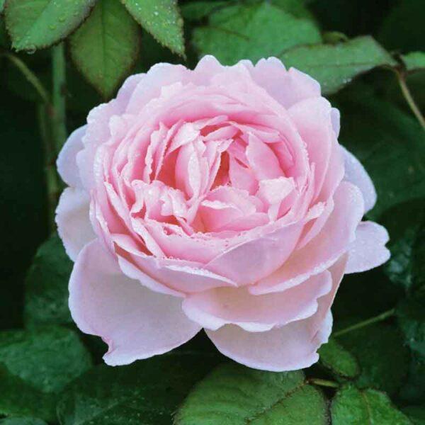 David Austin Scepter'd Isle® (Ausland) English Shrub Rose