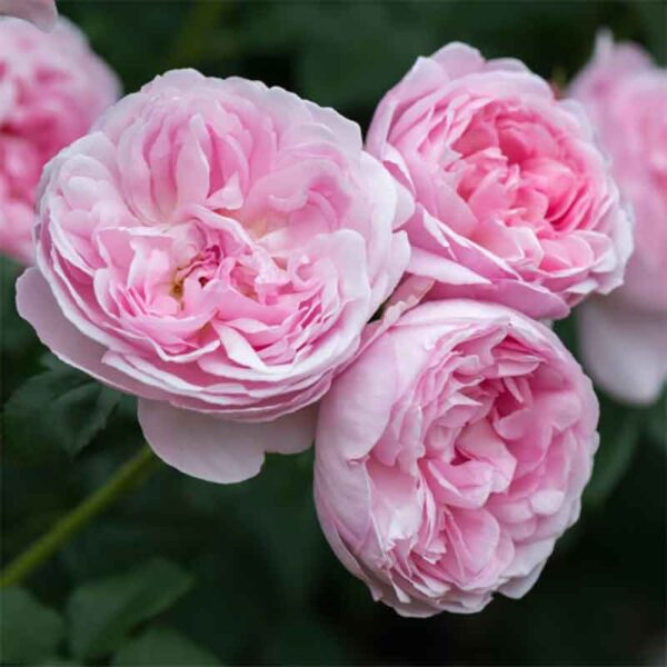 David Austin Scepter'd Isle® (Ausland) English Shrub Rose display