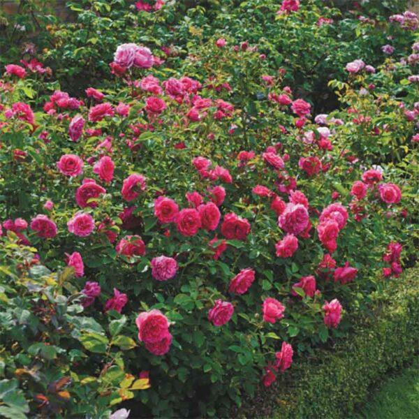 David Austin Sir John Betjeman® (Ausvivid) English Shrub Rose display