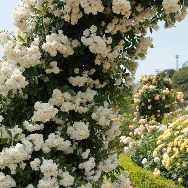 David Austin Snow Goose (Auspom) English Rambling Rose