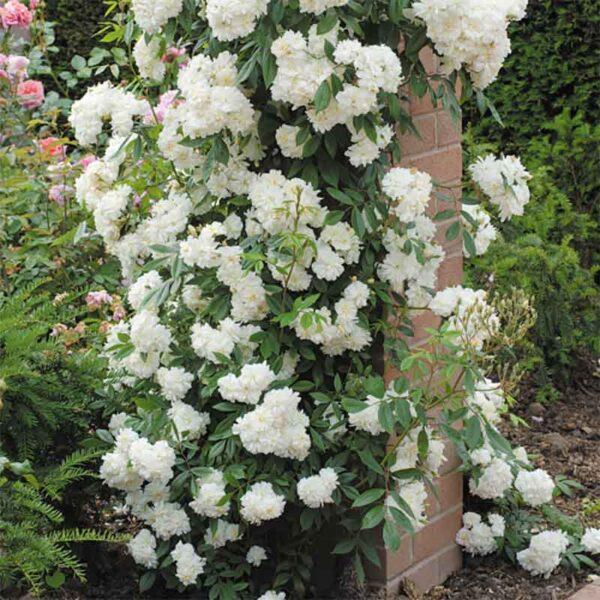 David Austin Snow Goose (Auspom) English Rambling Rose display