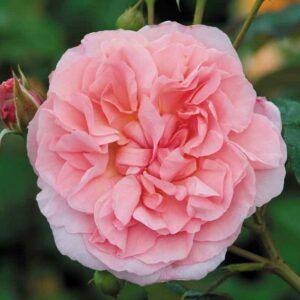 David Austin Strawberry Hill® (Ausrimini) Climbing Rose