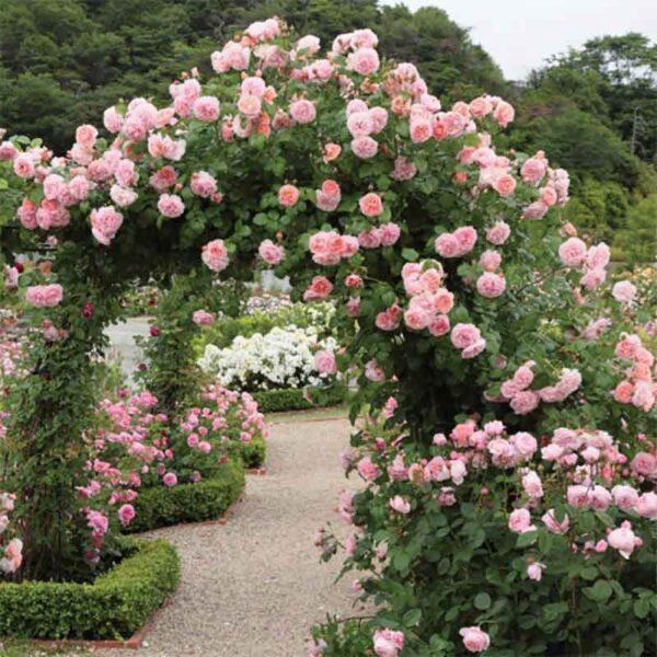 David Austin Strawberry Hill® (Ausrimini) Climbing Rose display