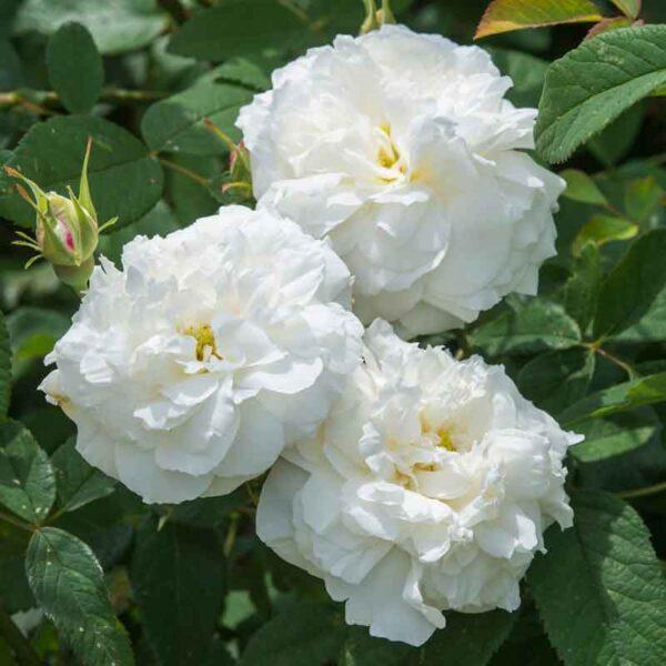 David Austin Susan Williams-Ellis® (Ausquirk) English Shrub Rose