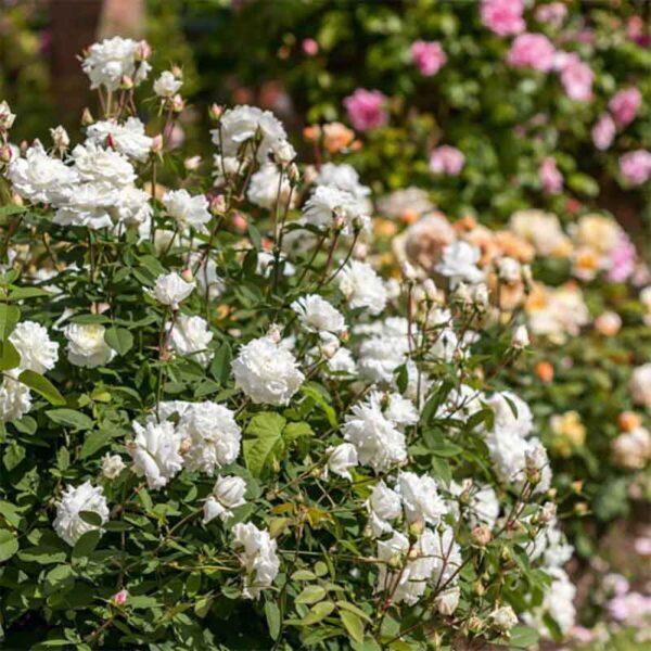 David Austin Susan Williams-Ellis® (Ausquirk) English Shrub Rose display