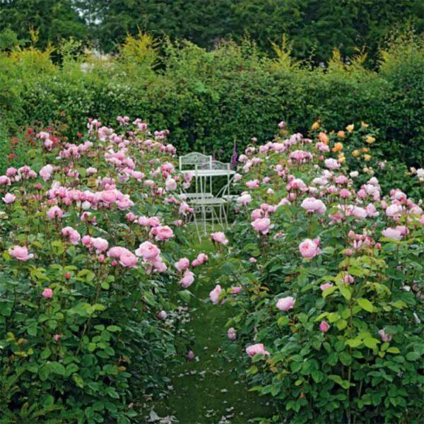 David Austin The Alnwick Rose® (Ausgrab) English Shrub Rose display