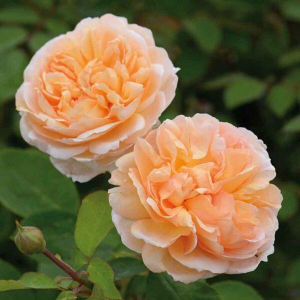 David Austin The Lady Gardener® (Ausbrass) English Shrub Rose
