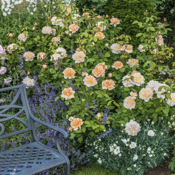 David Austin The Lady Gardener® (Ausbrass) English Shrub Rose display