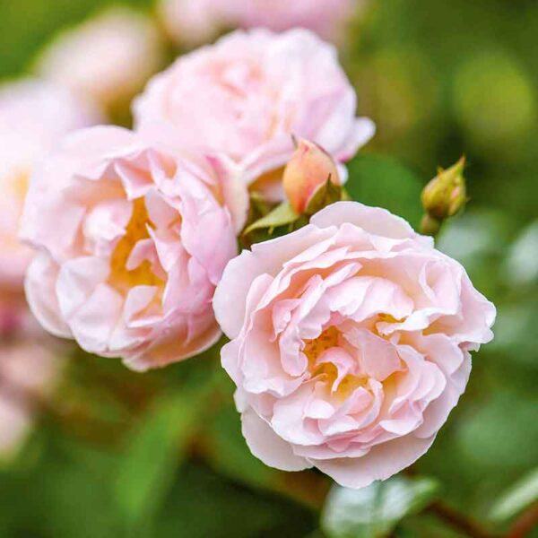 David Austin The Lady Of The Lake (Ausherbert) Rambling Rose