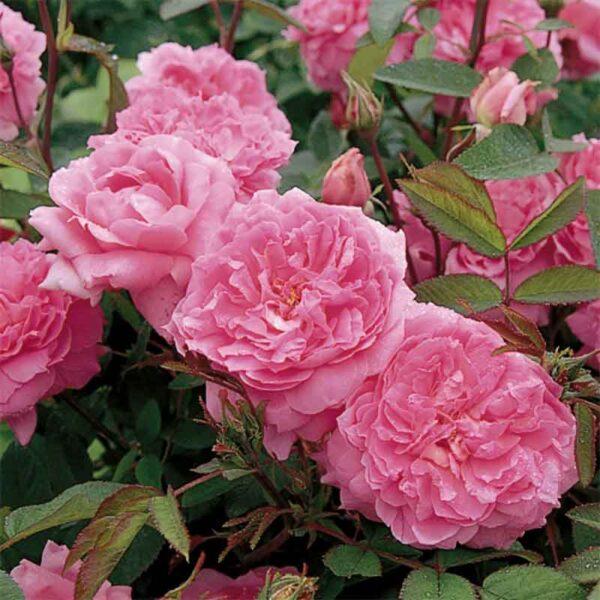 David Austin The Mayflower (Austilly) English Shrub Rose display