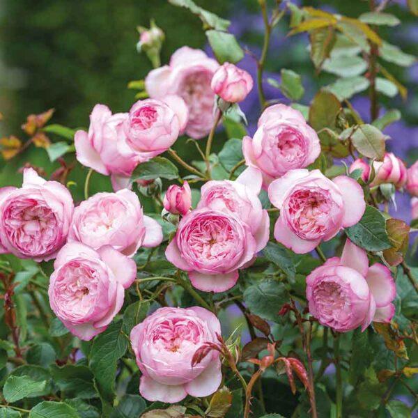 David Austin The Mill On The Floss® (Austulliver) English Shrub Rose