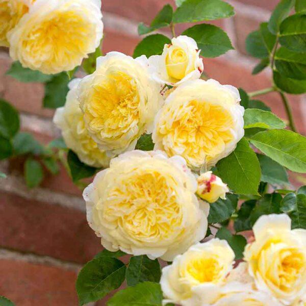 David Austin The Pilgrim® (Auswalker) English Climbing Rose