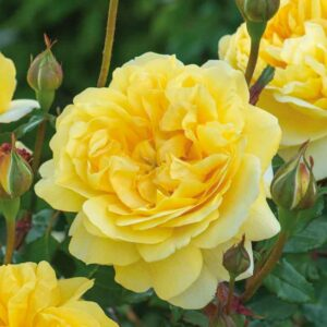 David Austin The Poet's Wife® (Auswhirl) English Shrub Rose