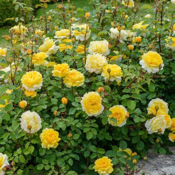 David Austin The Poet's Wife (Auswhirl) English Shrub Rose display