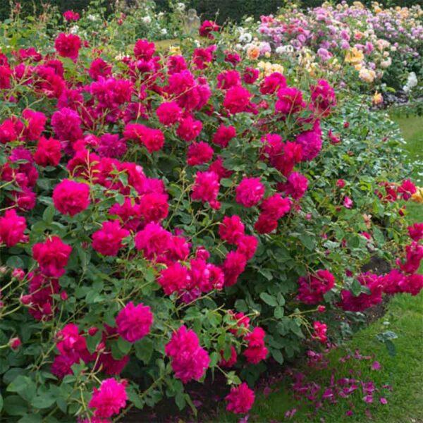 David Austin Thomas A Becket® (Auswinston) English Shrub Rose display