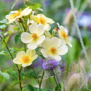 David Austin Tottering By Gently (Auscartoon) English Shrub Rose