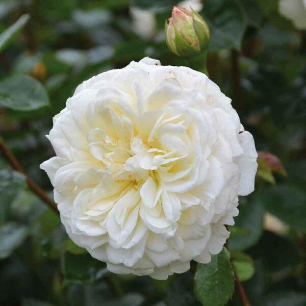 David Austin Tranquillity (Ausnoble) English Shrub Rose