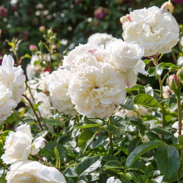 David Austin Tranquillity (Ausnoble) English Shrub Rose display