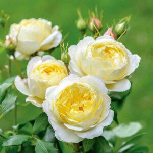 David Austin Vanessa Bell® (Auseasel) English Shrub Rose