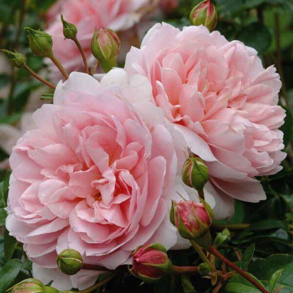 David Austin Wildeve (Ausbonny) English Shrub Rose