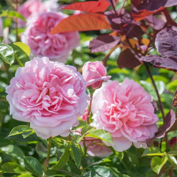David Austin Wildeve (Ausbonny) English Shrub Rose display