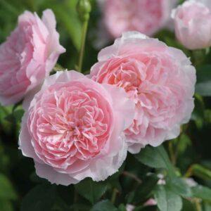 David Austin Wisley 2008® (Ausbreeze) English Shrub Rose