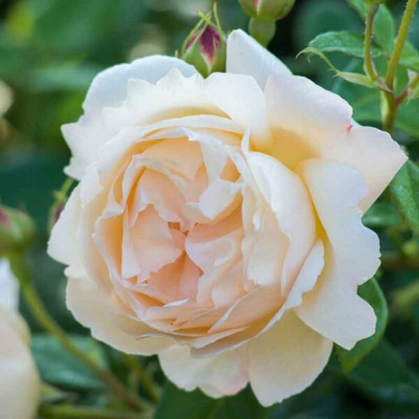 David Austin Wollerton Old Hall® (Ausblanket) Climbing Rose
