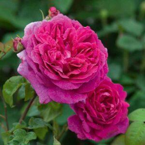 David Austin Young Lycidas® (Ausvibrant) English Shrub Rose