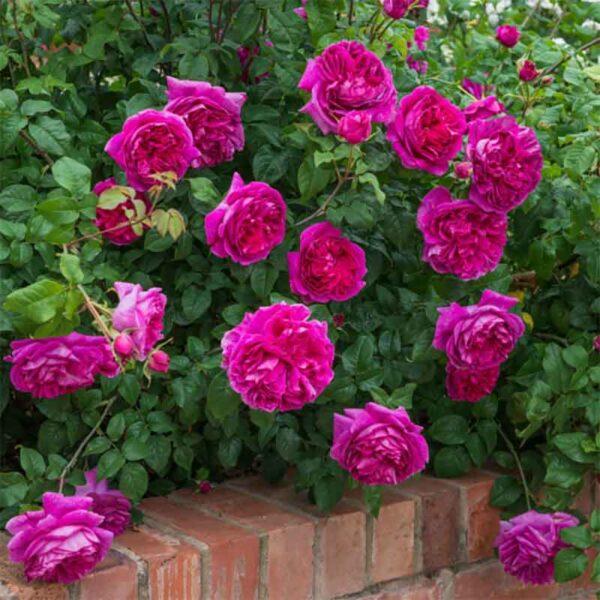 David Austin Young Lycidas® (Ausvibrant) English Shrub Rose display