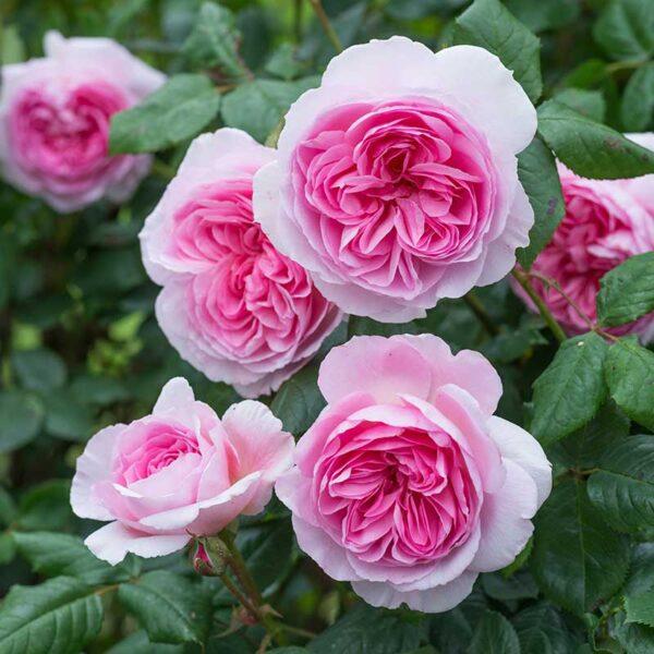 David Austin The Ancient Mariner Rose