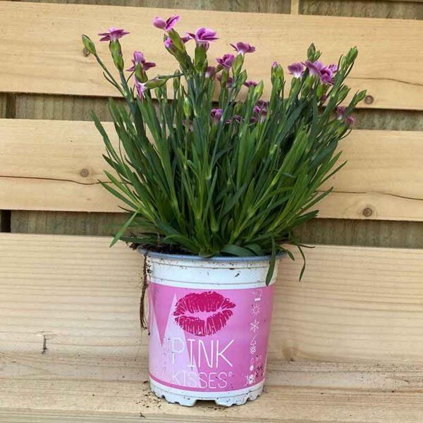 Dianthus 'Pink Kisses' detail