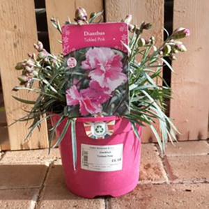 Dianthus 'Tickled Pink'