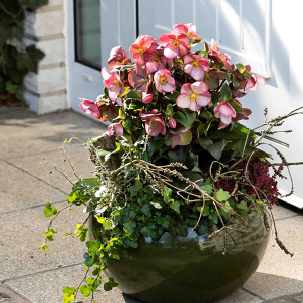 Plant Helleborus 'HGC Ice N' Roses Early Rose' in a pot