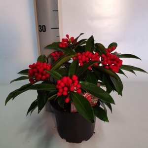 Skimmia japonica subsp. reevesiana (Gold Series) 15cm pot (Height: 25cm)
