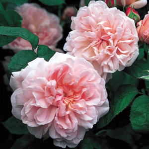David Austin Roses Eglantyne 6L Shrub Rose