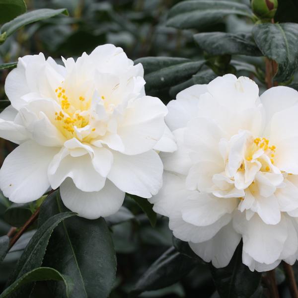 Camellia japonica 'Silver Anniversary' (Courtesy of ©Farplants Sales Ltd) 3 litre pot