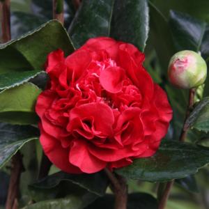 Camellia Ruby Wedding (Courtesy of ©Farplants Sales Ltd)