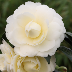 Camellia japonica 'Golden Anniversary' (Courtesy of ©Farplants Sales Ltd)