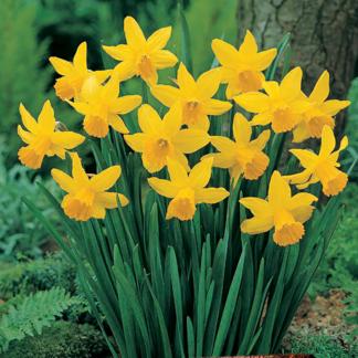 Narcissus cyclamineus 'February Gold' (Dwarf Daffodil)