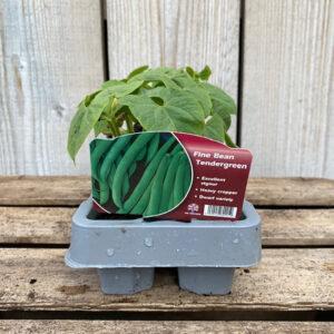 Fine Bean Plant Tendergreen - French Vilbel (12 Pack)