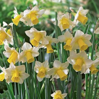 Narcissus 'Golden Echo' (Jonquilla Daffodil)