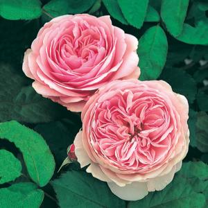 David Austin Geoff Hamilton® (Ausham) English Shrub Rose 6 litre pot (Images courtesy of David Austin Roses)