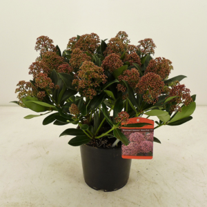 Skimmia japonica 'Pink Giant' (Gold Series) 17cm pot (Height: 45cm)
