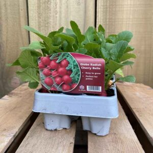 Globe Radish Cherry Belle (12 Pack)