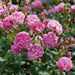 David Austin Roses Harlow Carr 6L Shrub Rose